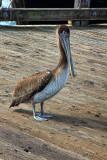 Pelican - Morro Bay, California