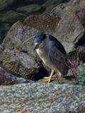 Black Crowned Night Heron - Morro Bay, California
