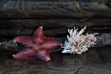 Starfish - Montana De Oro State Park, California