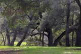 Oaks - Santa Rosa Creek Road, California