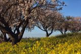 Almond Blossoms - Hidden Oaks Winery, Paso Robles, California