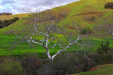 Sycamore Against the Green - California