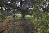 Oak Arms - Santa Rita Road - California