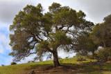 Oak On Hill - Santa Rita Road - California