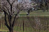 Almond Blossoms and Vines - Pomar Junction Winery - Paso Robles, California