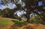 Oak and Shadow - Santa Rita Road - California