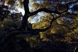 Light Through Oak Branches - Santa Barbara County, California
