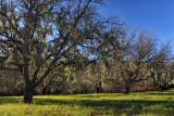 Moss on Oaks - Peachy Canyon Road - Paso Robles, California