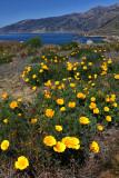 Poppies - Big Sur Coast - California