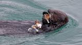 Sea Otter Feasting on Clam - Morro Bay, California