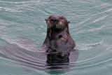 Sea Otter - Morro Bay, California