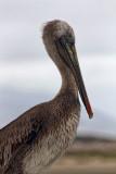 Pelican Portrait - Morro Bay, California