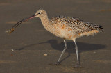 Curlew Eating a Sand Shrimp