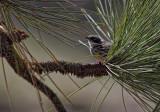 Warbler- Santa Margarita Lake, California
