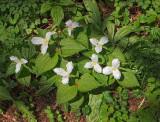Trilliums - Kohler Andrae State Park - Wisconsin