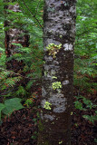 Woodland - Pictured Rocks National Lakeshore - Upper Michigan