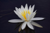 Water Lilly - Kingston Plains - Upper Michigan