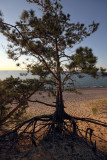 Pine - Pictured Rocks National Lakeshore