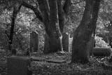 Oaks and Granite - Rural Cemetery - Santa Rosa, California