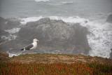 Gull - Sonoma Coast - California