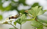 8888 Hummingbird Clearwing (Hemaris thysbe)