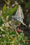 0528 Common Checkered Skipper (Pyrgus communis)