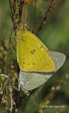 1152 Orange Sulphur B'fly mating