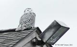 3499-Snowy-Owl