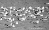 3076-RB-Gulls-one-way.jpg
