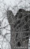 4472-Barred-Owl.jpg