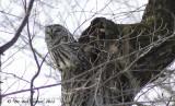 4490-Barred-Owl.jpg