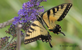 6335-Eastern-Tiger-Swallowtail