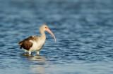 bis blanc juvénile -- American White Ibis, juvenile
