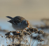 Field Sparrow ? maybe