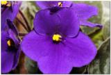 African Violets 2788.