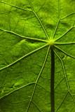Translucent Nasturtium Leaf
