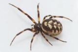 Steatoda albomaculata (f)