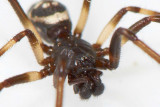Steatoda albomaculata (m)
