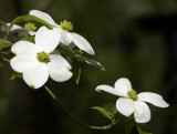 Simple Dogwood Blossoms