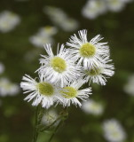 Tiny daisies