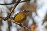 Wood-warblers and Bananaquits