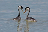 Clark's and Western Grebes