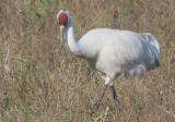 Whopping Crane