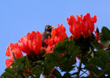 African tulip with myna