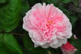 roses_2012