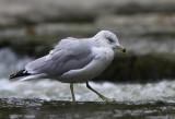 Goeland a Bec Cerclé - Ring-Billed Gull