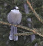 Mésangai du Canada - Gray Jay