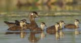 Canards Branchu - Wood  ducks
