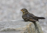 Carouge a épaulettes - Red-winged Blackbird