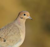 Tourterelle triste - Mourning Dove